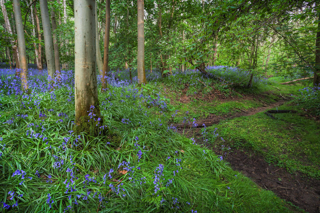 Looking along a dry woodland stream bed with colourful bluebells in this Cambridgeshire woods
