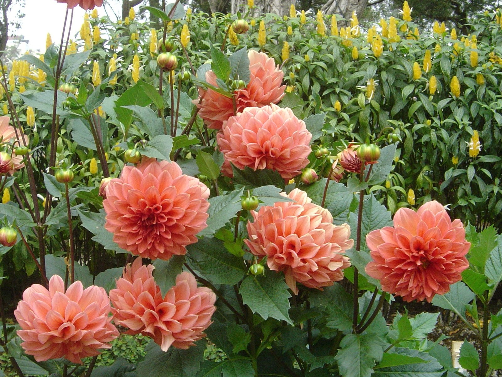 Picture Of Dahlia Flower - Beautiful Flowers