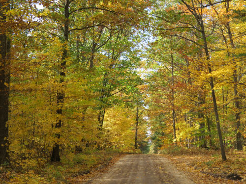 dirt road with a tunnel of yellow autumn trees