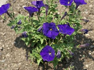 Petunia milliflora Picobella Blue - Petunia 'Picobella Blue'