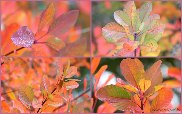 cotinus coggygria feuillage automne