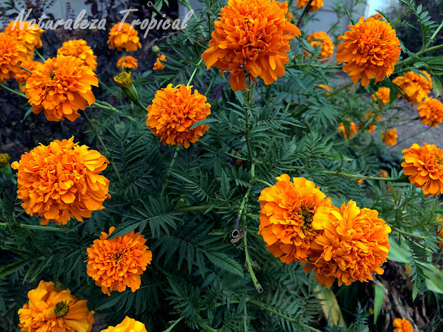 Planta del clavelón de la India o Cempasúchil en plena floración, Tagetes erecta