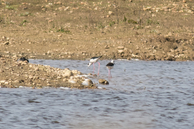 Male and Female Black Winged Stilt