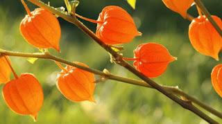 remedios caseros ginseng indio ara aumentar memoria