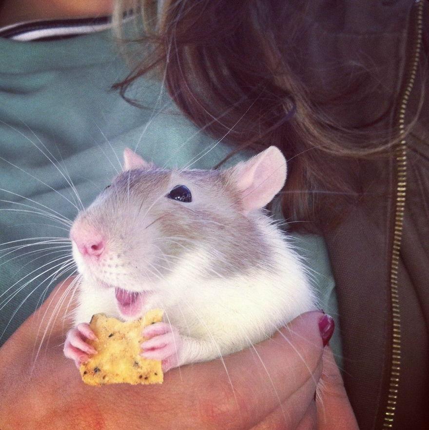 cute-pet-rats-6