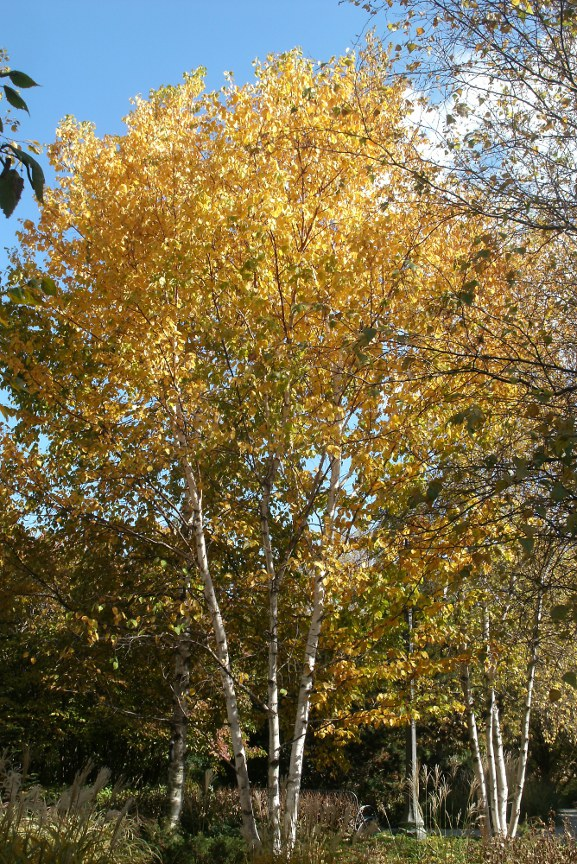 Fall Paper Birch (Betula papyrifera) foliage at Toronto Music Garden by garden muses-not another Toronto gardening blog