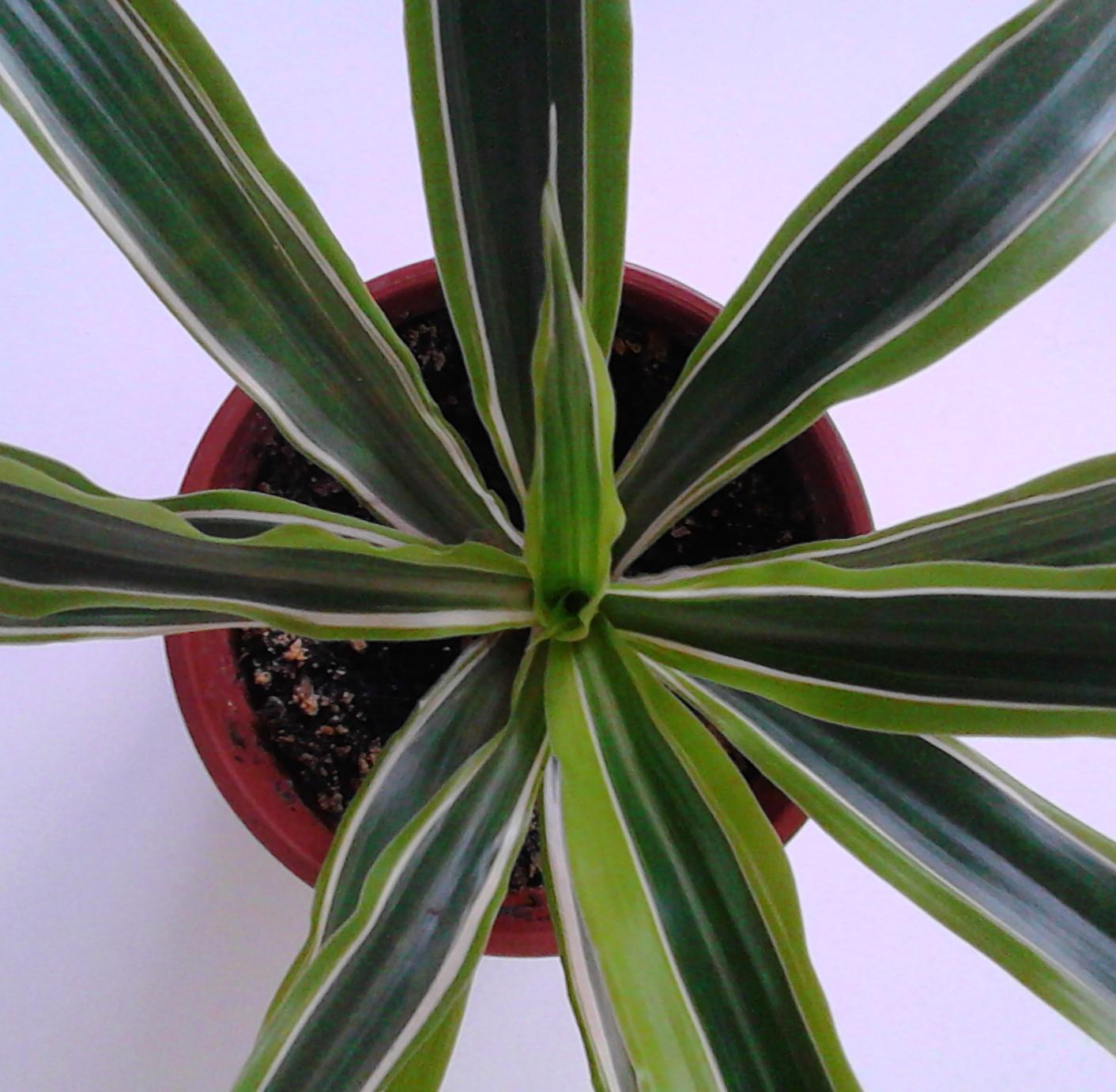 la ventana de javiruli plantas de interior 35 dracena