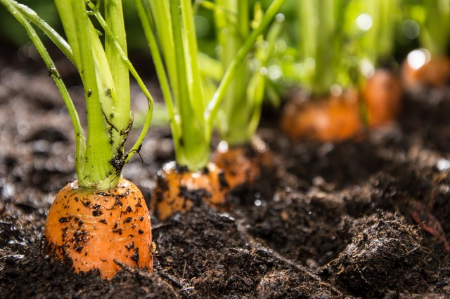 Cách trồng cà rốt và kỹ thuật trồng cà rốt