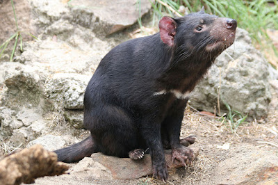 Monster Monday: Tasmanian Devil & Dire Tasmanian Devil