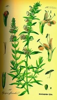 Plantas Aromáticas hisopo