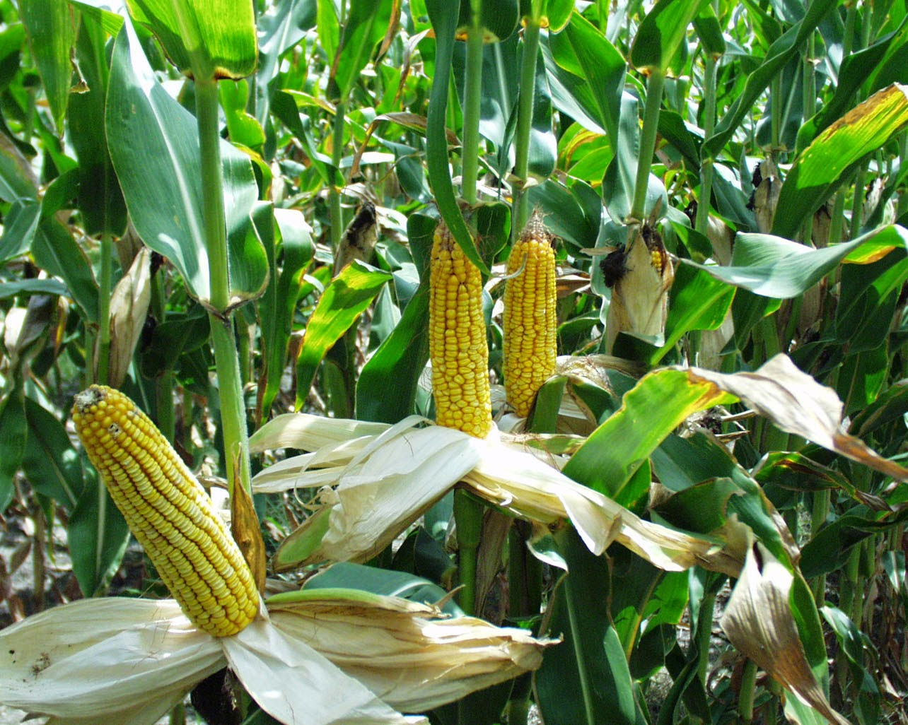 MAIZE ZEA MAYS PDF DOWNLOAD