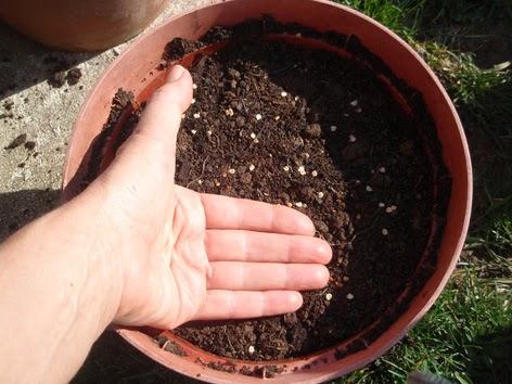 Forma de sembrar semillas de tomate