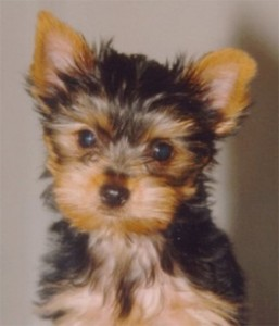 Miniature Yorkshire Terrier 5 Best Hygiene Tips For Yorkies And