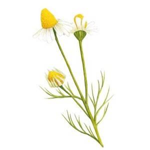 Camomila, nome científico: Matricaria chamomilla