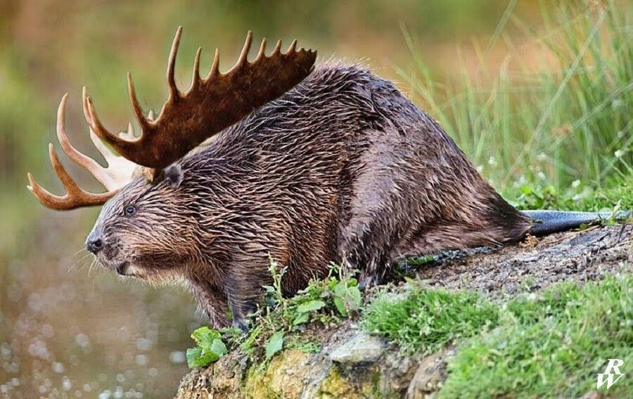 17-Beaver-and-Moose-Rob-Westdorp-www-designstack-co