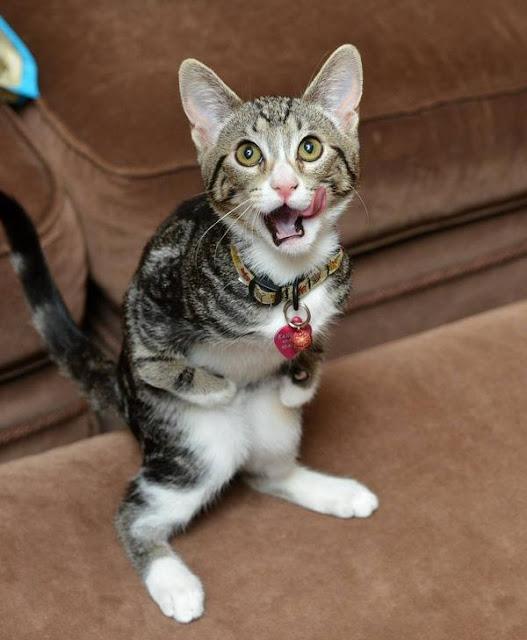 """Vẻ dễ thương """"gần chết"""" của cô mèo nhỏ đứng bằng hai chân như người"""