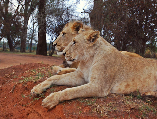 Lion Park in Johannesburg - South Africa