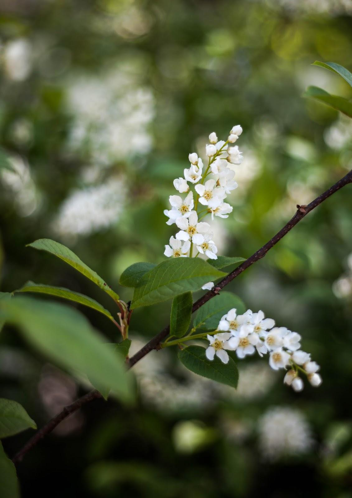 tuomi kukka puu