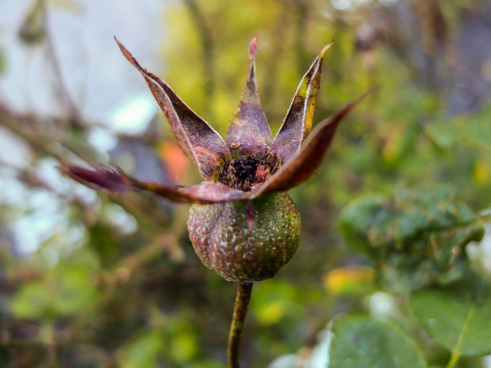 A close up of a browning rose hip covered in dew.