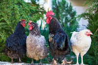 Best Egg Laying Chicken breeds