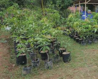 menanam tabulampot