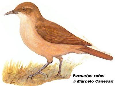aves argentinas Hornero común Furnarius rufus