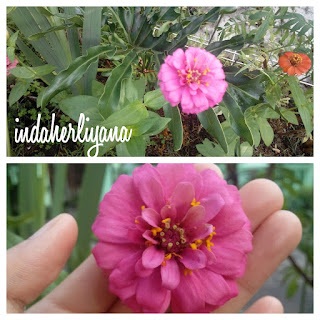 mix zinnia or bunga kertas
