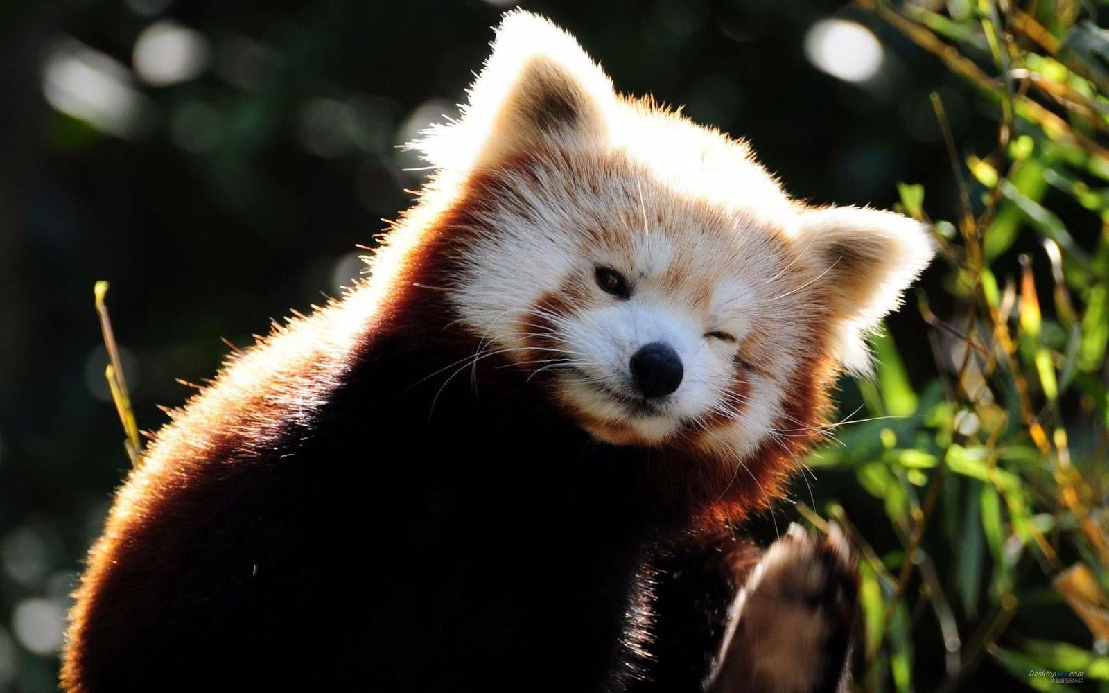 Funny & Cute Red Panda Images