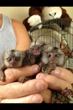 Finger Monkey or Pygmy Marmoset for sale