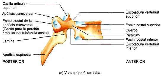 Hueso sacro perfil derecho anatomía columna vertebral