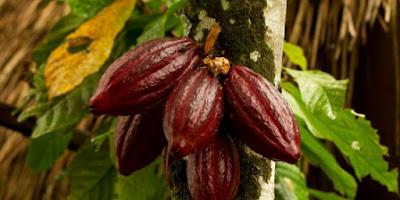23 Manfaat Buah Coklat untuk Kesehatan dan Kecantikan Alami