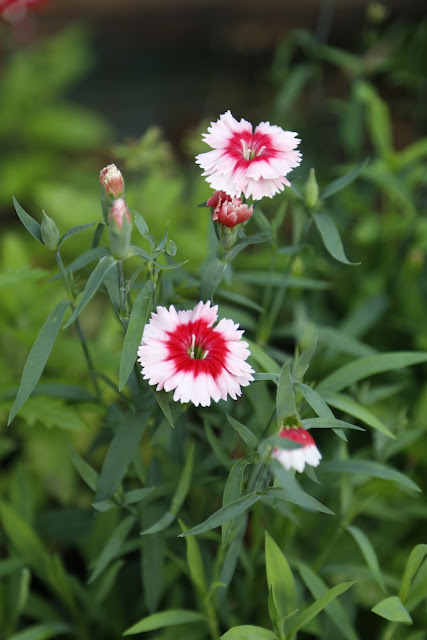 Two-tone Pink Dianthus Flowers Pinks