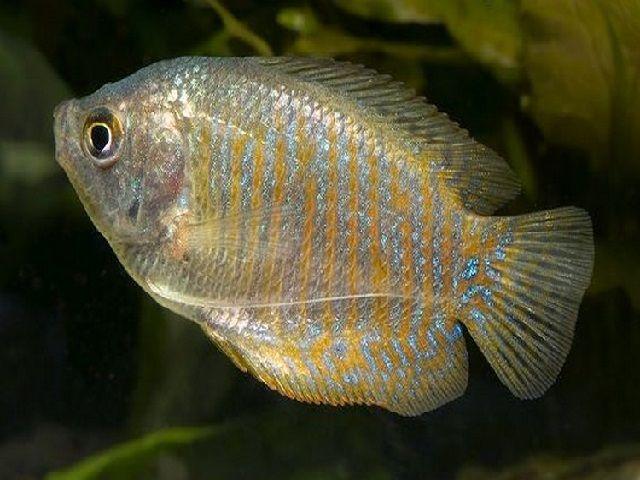 Tips Merawat Ikan Dwarf Gurami Hias dalam Kolam