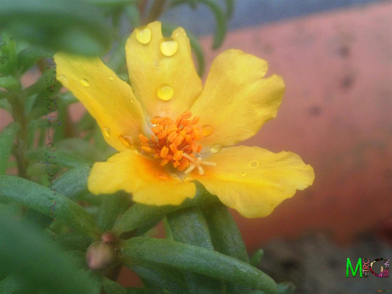 Metro Greens: A yellow portulaca bloom.