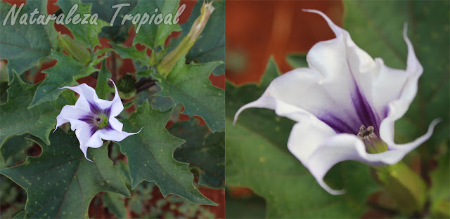 1- Planta silvestre del género Datura; muy fácil de encontrar en áreas de cultivo y en la vegetación natural del país. Algunos la consideran maleza pero otros la cultivan por sus hermosas flores.