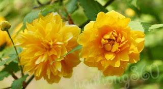 hoa hồng vàng tầm xuân