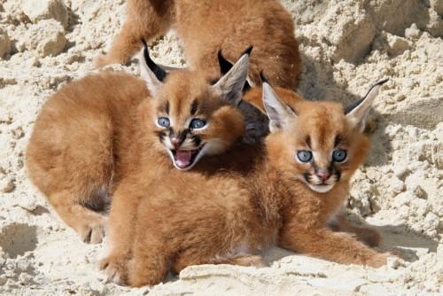 حيوان بري أصغر من النمر ويسمى بسنور الجبل