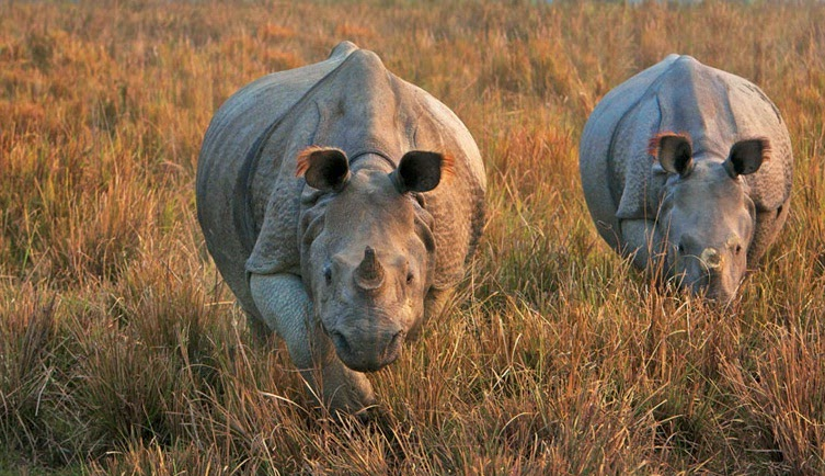 Great Single Horned Rhinos, Kaziranga National Park