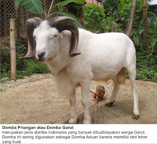 ternak domba garut/priangan