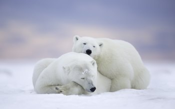 Wallpaper: Animals Wild Polar Bears
