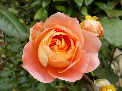 Rose Lady Emma Hamilton Green Fingered Blog