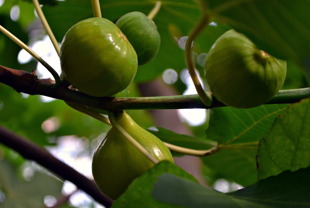 God and His Fig Tree: Finding Fruit in the Final Generation