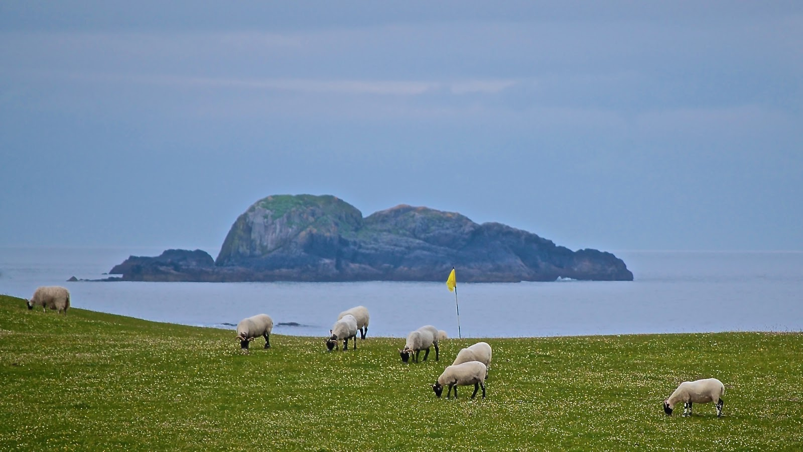 Sheep graze on the golf course on the Isle of Iona