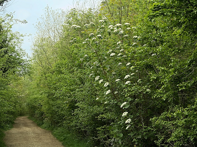 wayfaring tree with white flowers growing in hedge beside a path