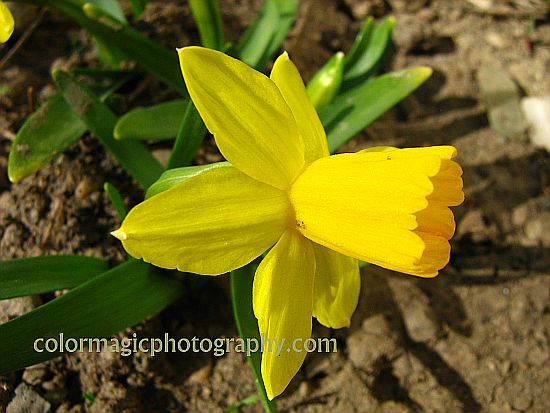 Dwarf daffodils-close-up of Tete-a-Tete Narcissus