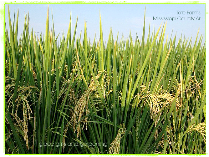 Rice Field Mississippi County Arkansas