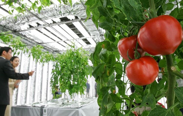 los tomates hidroponicos