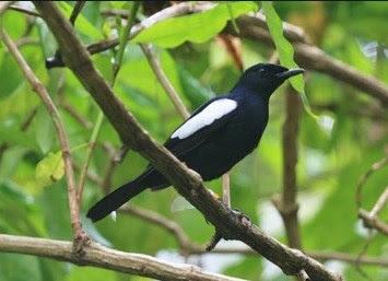 2 Jenis Burung Kacer Yang Memiliki Warna Ekor Hitam Paling Lengkap