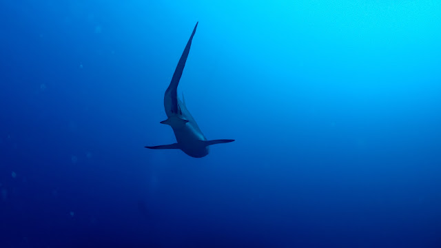 Thresher Shark in Cuba?