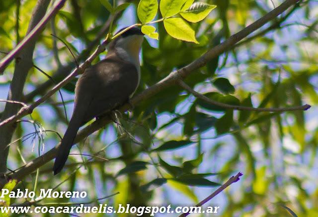 "alt=""cuclillo canela,Coccyzus melacoryphus,aves de Mendoza"""